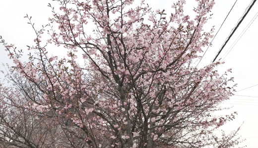 札幌は開花宣言